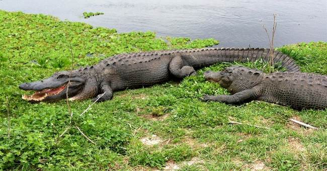 Witness calls 911 after boy dragged in alligator attack
