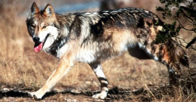 Suspicion over federal wolf plan spreads to Colorado, Utah