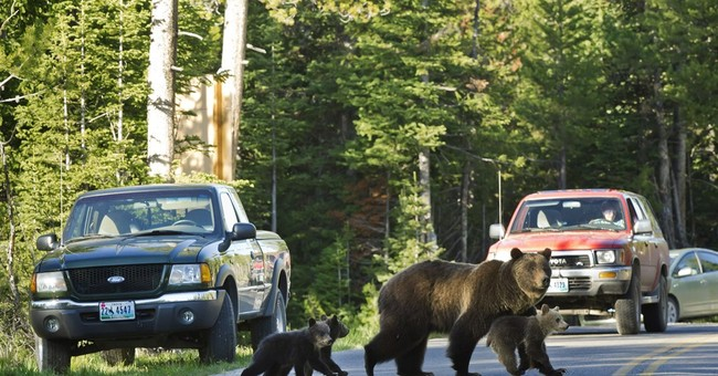 Cub of well-known Wyoming grizzly believed killed by car