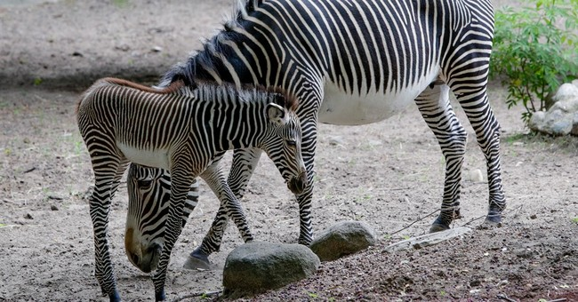 New baby at Chicago zoo is 109 pounds, wears stripes