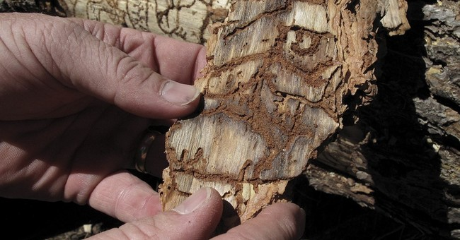 Feds: Drought kills 66 million trees in California's Sierra