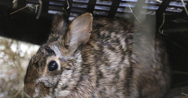 New England cottontail making a comeback in the region