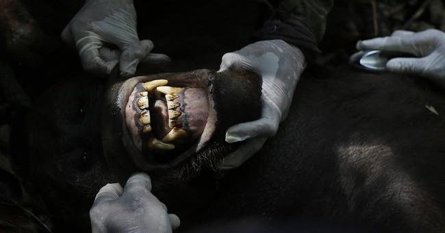 AP PHOTOS: Rescuing Borneo's threatened orangutans