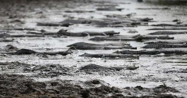 AP PHOTOS: In Paraguay, drought-stricken caimans agonize