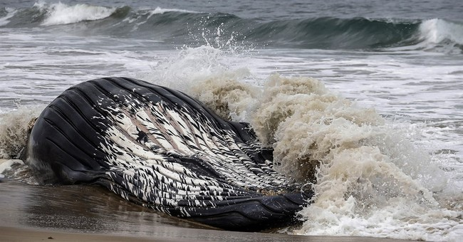 The Latest: Dead whale at LA-area beach towed back to sea
