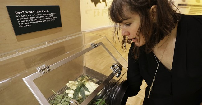 California pot exhibit aims for debate on provocative plant