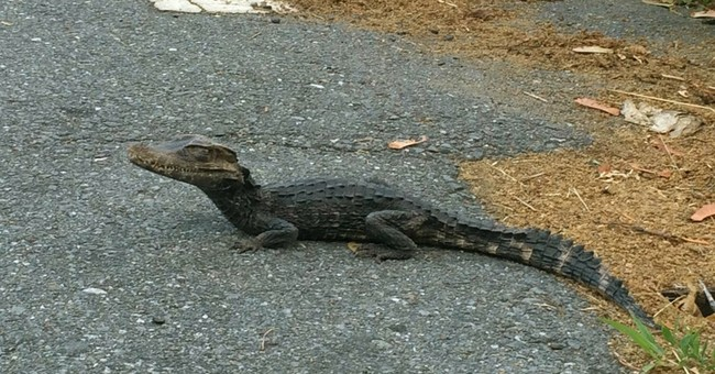 Police capture foot-long alligator roaming neighborhood