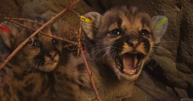 2 mountain lion litters found in California mountains