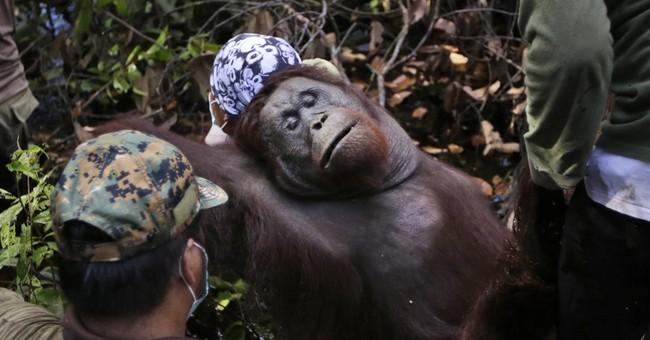 Conservation group: Bornean orangutan critically endangered