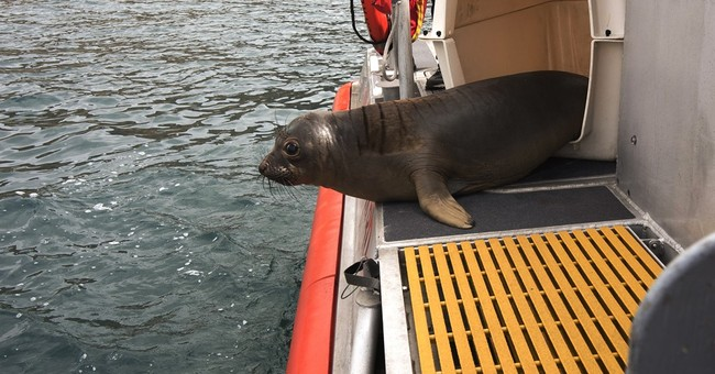 2 seal pups dive back into the sea after California rescue
