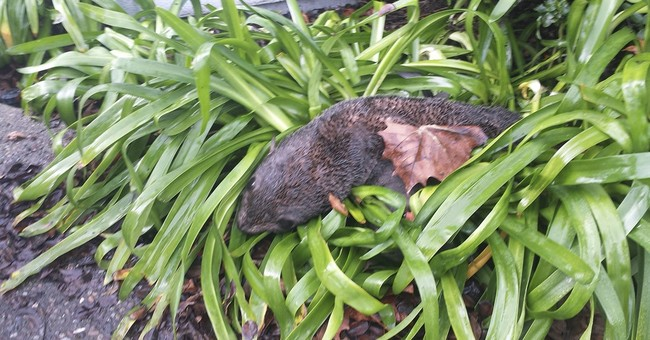 Baby fur seal found in bushes at California business park