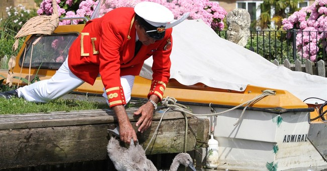 Dog attacks loom over this year's count of queen's swans