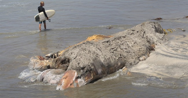 Crews cutting up dead whale that keeps floating to shore