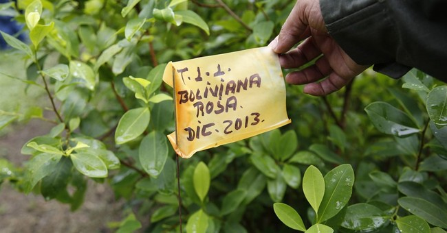 Coca's comeback forces Colombia to rethink drug war