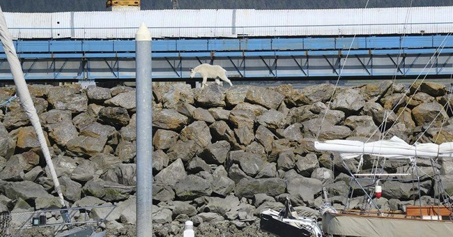Goat drowns trying to escape Alaska crowds taking its photo