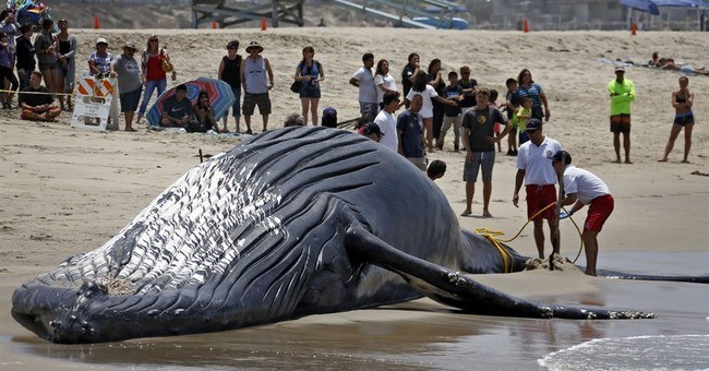 Wally the dead whale finally laid to rest in landfill