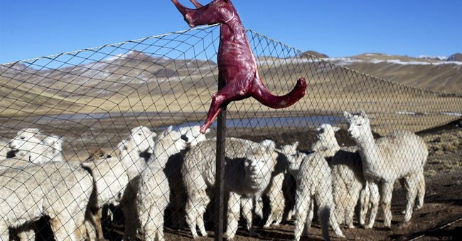 In Peru's Andes, bitter cold devastates alpaca farmers