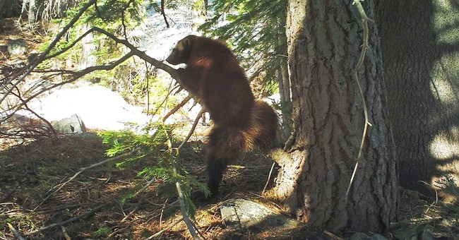 Scientists capture rare images of wolverine in Sierra Nevada