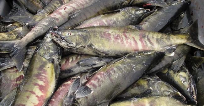 No typical salmon run: Fish spills across Alaska highway
