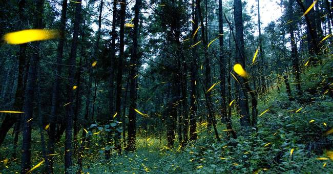 AP PHOTOS: Mexican farmers using fireflies to save forest