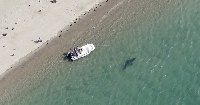Researchers seeing more sharks up and down the East Coast