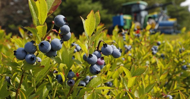 APNewsBreak: Feds to complete purchase of Maine blueberries