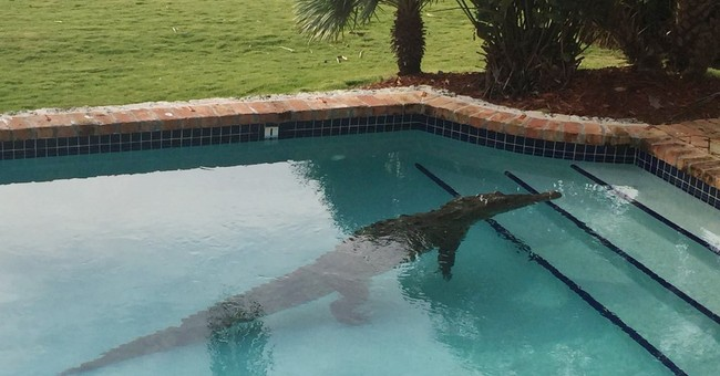 Crocodile takes morning dip in Florida Keys swimming pool