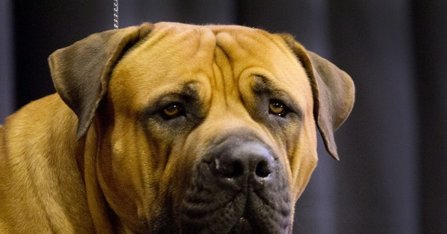 New at Westminster dog show: 7 breeds, obedience contest