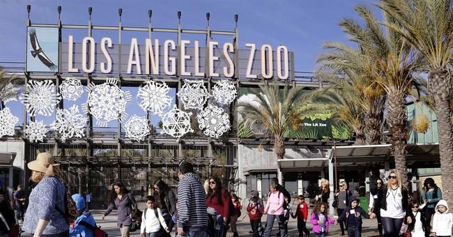 Los Angeles Zoo worker falls in gorilla enclosure; hurts leg