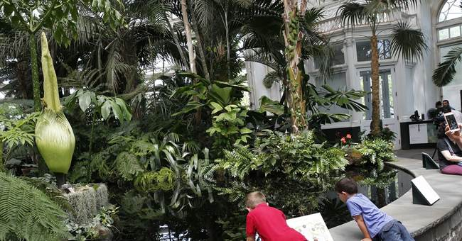 Rare, foul-smelling 'corpse flower' blooms in New York City