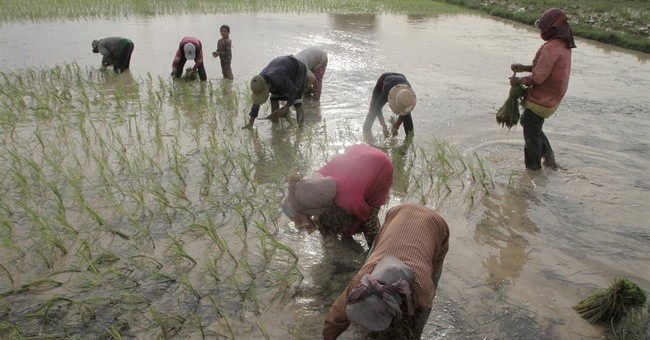 Image of Asia: Planting rice seedlings in Cambodian fields