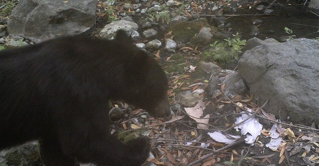 Rare black bear spotted in mountains west of Los Angeles