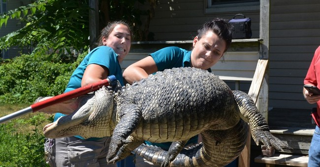 Police remove 6-foot alligator from Massachusetts backyard
