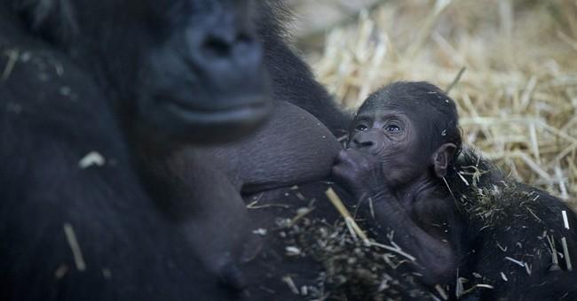Gorilla gives birth to baby at Amsterdam's Artis zoo