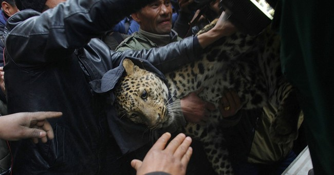 Leopard enters Nepal suburb, injures 1 person