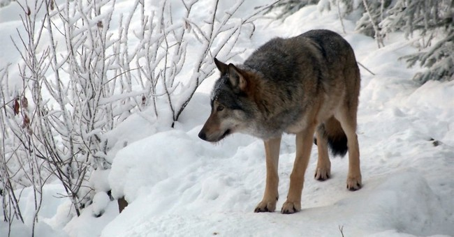 Finland to start 2nd govt-sanctioned trial wolf hunt