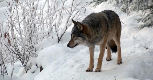 Finland to start 2nd govt-sanctioned trial wolf hunt