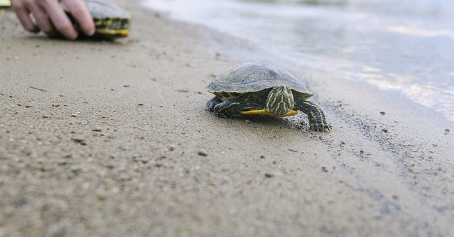 Indiana group helps turtles trying to cross Indiana highway