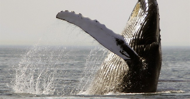 Study finds ship noise disrupting humpback whale feeding