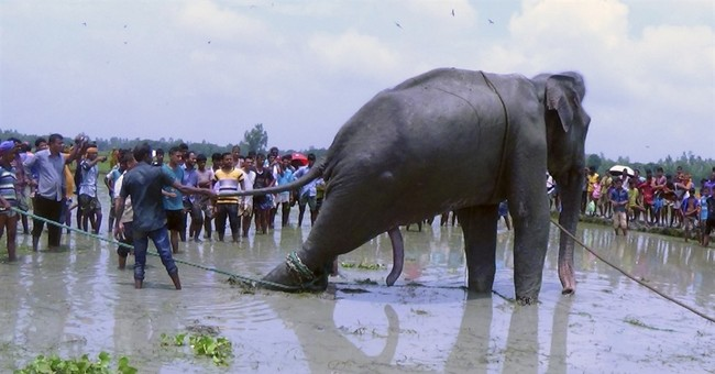 Bangladesh tries to move stranded elephant to safari park