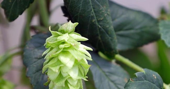 Some Florida farmers eyeing hops as next niche crop