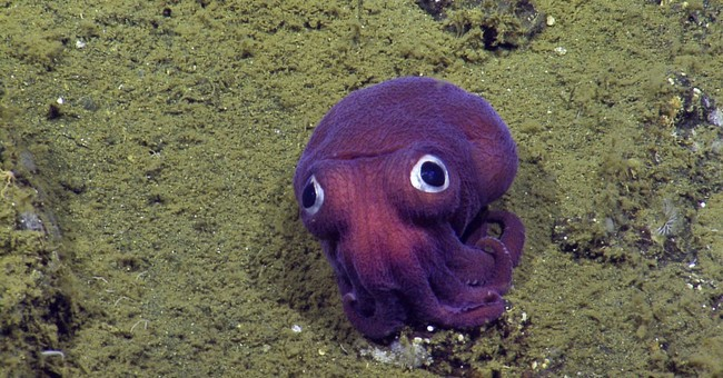 Undersea surprise: Big-eyed squid looks more toy than animal