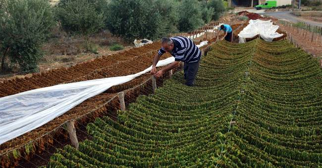 Because of Syrian war, Lebanon's tobacco industry is booming