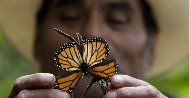Experts: Mexico storms led to deaths of millions of monarchs