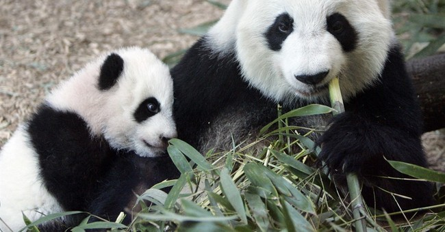 Zoo Atlanta's giant female panda is expecting twins, again!