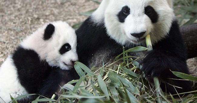 Zoo Atlanta's giant female panda is expecting twins, again!