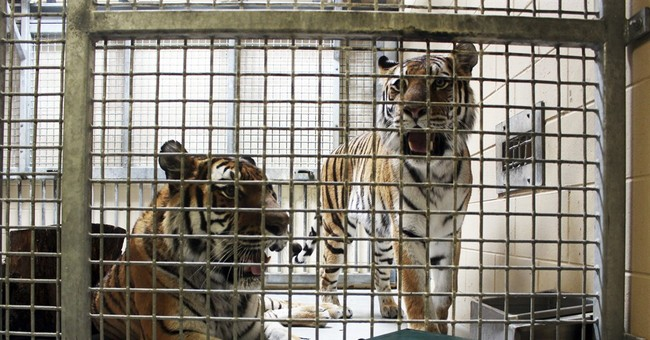 Recordings of tiger sounds aim to help save wild population
