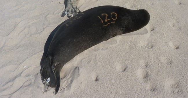 4 malnourished Hawaiian monk seals taken to hospital