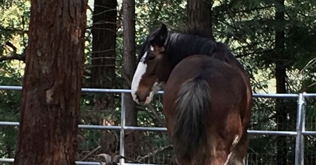 With help from goat, wily Clydesdale goes on lam for 5 days