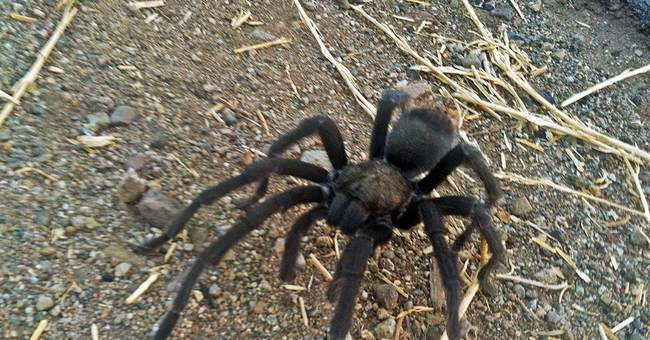 Tarantulas looking for love in California; hikers warned
